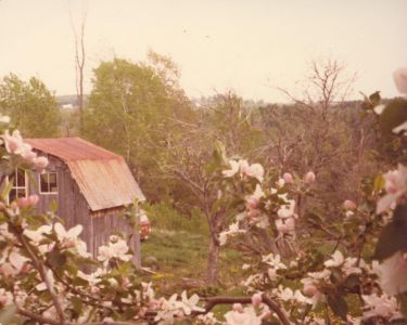 198005xx Apple Blossoms And Barn-Randboro